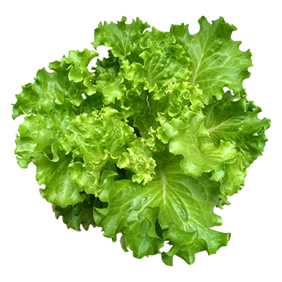 Green Lollo Lettuce