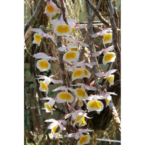Den.Primulinum (yellow)