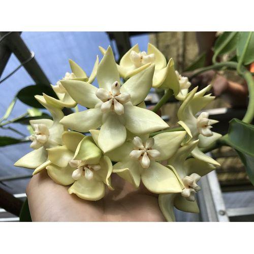 Hoya imperialis white YH-I09