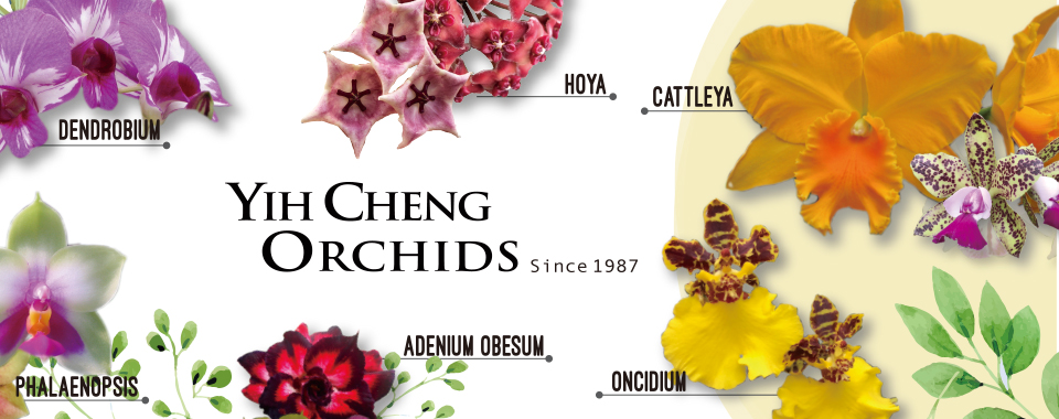 Yih Cheng Orchids 億晟蘭園