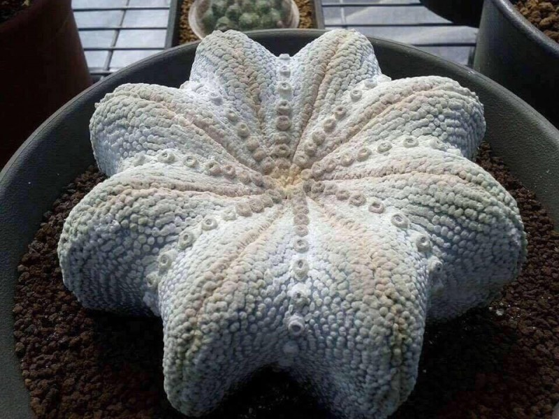 Starfish miracle  Astrophytum asterias