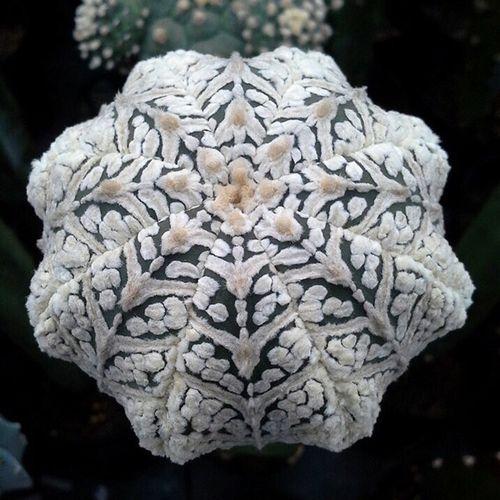 Starfish Big V Stripe  Super  Astrophytum Asterias