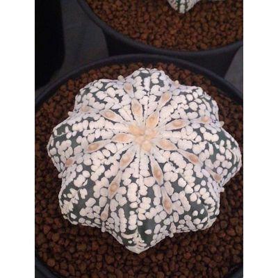 Starfish Pentagram Eyes Super    Astrophytum Asterias