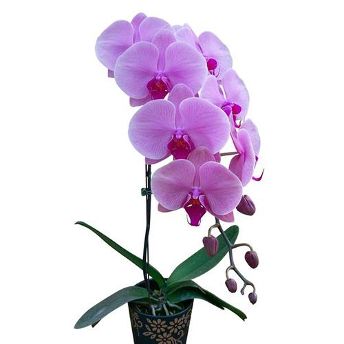 Phalaenopsis 1490-1