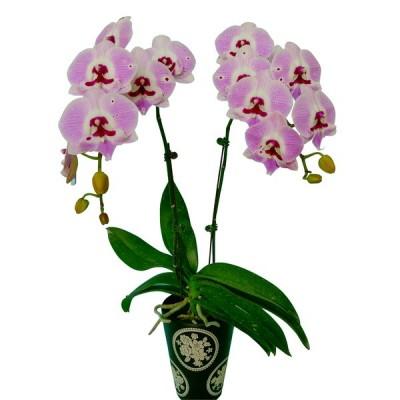 Phalaenopsis 1112-3