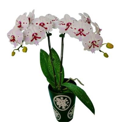 Phalaenopsis 1112-6
