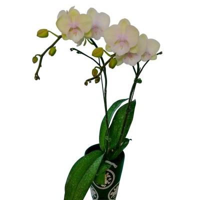 Phalaenopsis 1120-5