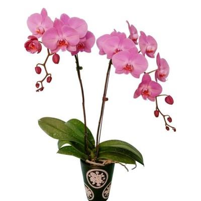 Phalaenopsis 8002