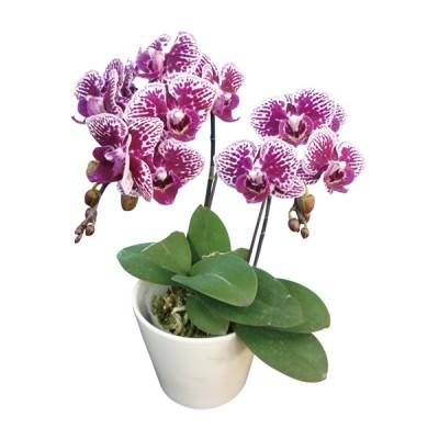 Phalaenopsis 363