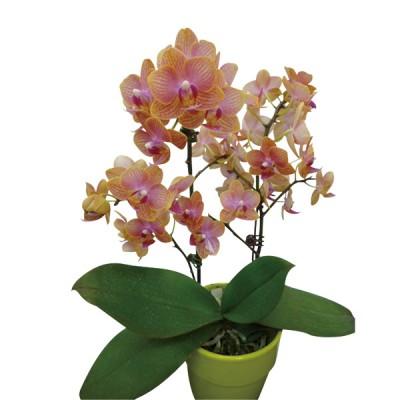 Phalaenopsis 390