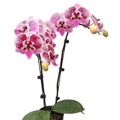 Phalaenopsis 1002-2